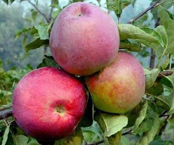 Яблоки сорта подарок графского